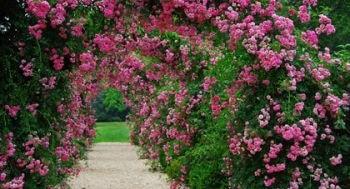 rosenbogen-richtig-bepflanzen