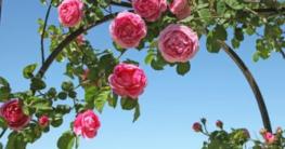pergola-rankhilfe-rosenbogen